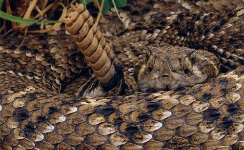 Çıngıraklı yılan ile selfie almanın acı sonu